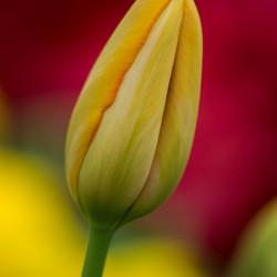 De gele tulp