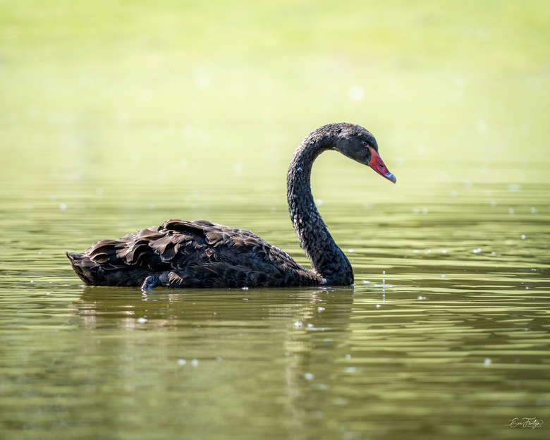 Zwarte zwaan - Deze mooie zwarte zwaan trok mijn aandacht toen we een dagje naar Dierenparc Overloon waren. Het contrast tussen de mooie zwarte veren