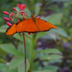 Vlinder in vlinderparadijs Amazonica
