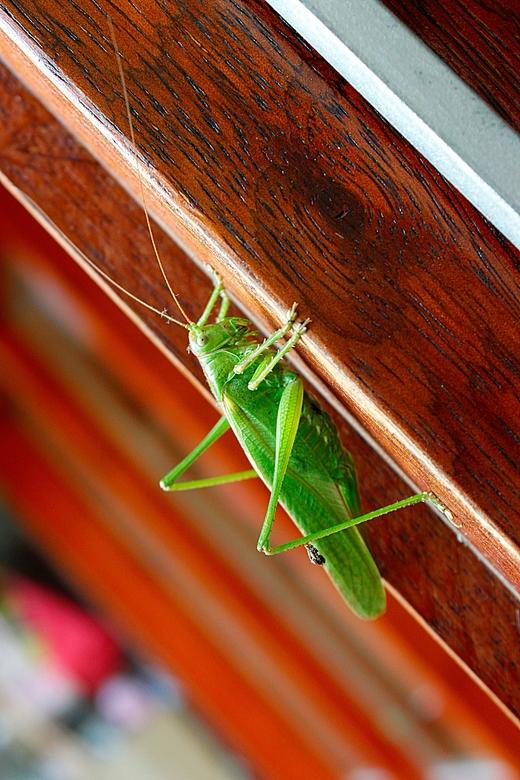 Groene Sprinkhaan - De Groene Sprinkhaan