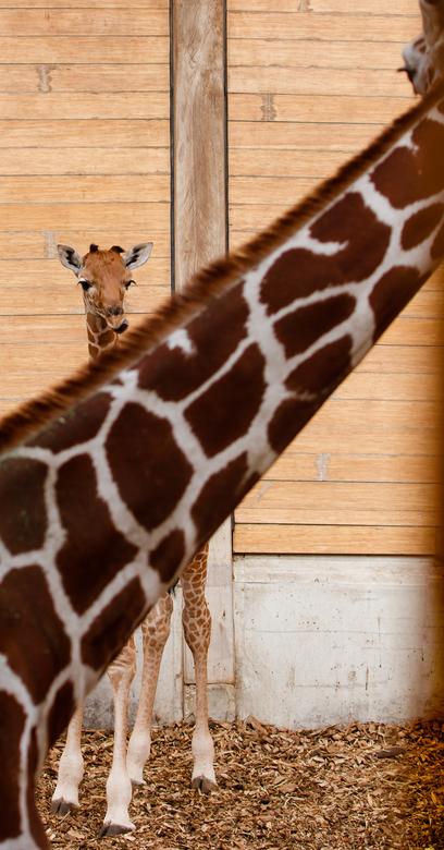 Jonge giraffe in Blijdorp - Als je goed kijkt, zie je moeder nog een oogje houden op de kleine.