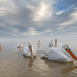 Floating pelicans
