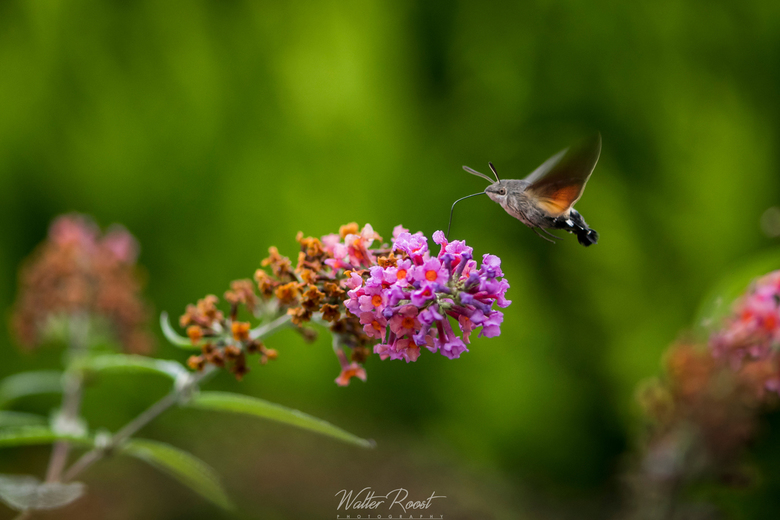 Kolibrievlinder -
