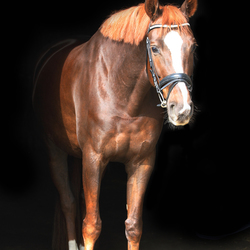 Paard met zwarte achtergrond