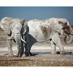 Olifanten in Etosha (Namibië)