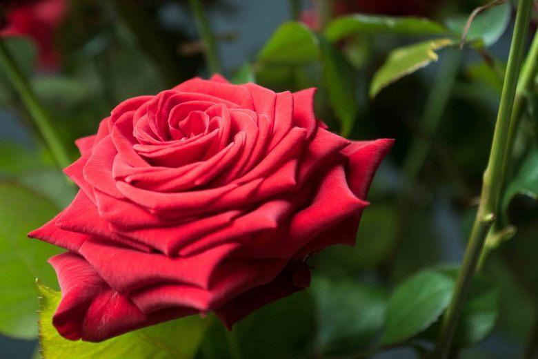 Passie vastgelegd: roos - Heb mezelf de opdracht opgelegd passie te fotograferen. Eén van de manieren waarop ik dat geprobeerd heb is met een roos. De