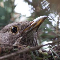 Merel op haar nest