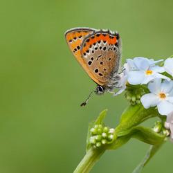 Blauwe vuurvlinder