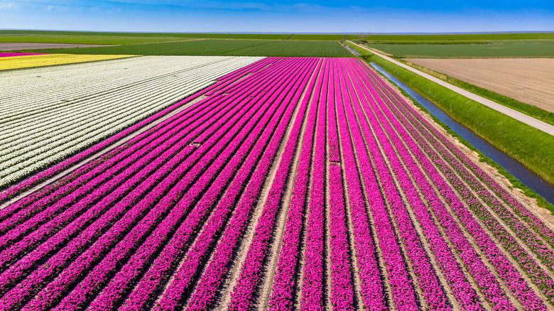 Bollenvelden in Friesland van boven
