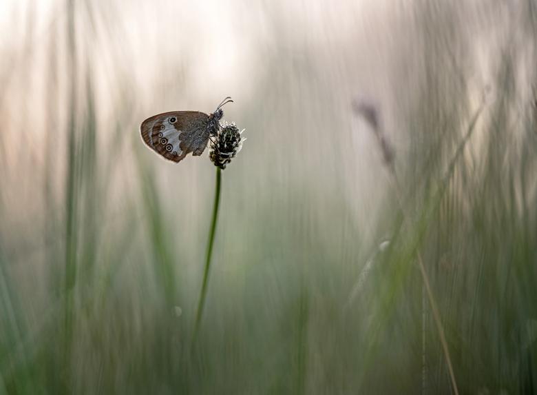 Early morning pleasure - Foto toont een tweekleurig hooibeestje. Dank voor jullie reactie's op 'Nature's art'. Groet Arjo.
