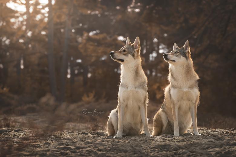 Wolfhonden bij zonsondergang -