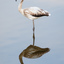 Franse Flamingo