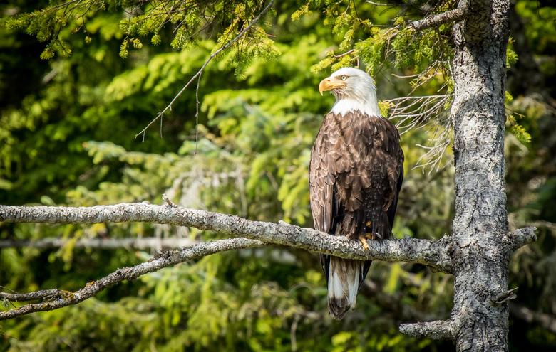 Bald Eagle - Prachtige Bald Eagle bij de kust van Telegraph Cove, BC, Canada.