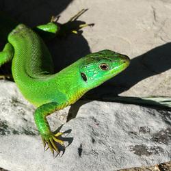 Smaragd hagedis