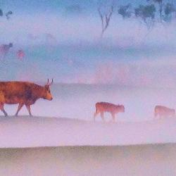 runderen steken ook over ondanks de mist