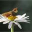 Flashback Blaaskopvlieg