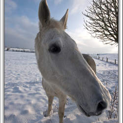 langsnuit (winter pony)