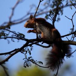 eekhoorn in de ochtendzon