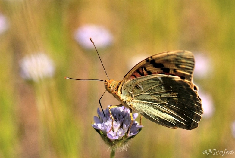 Kardinaalsmantel. - De kardinaalsmantel is een vlinder uit de familie Nymphalidae, de vossen, parelmoervlinders en weerschijnvlinders. De vlinder komt