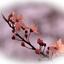 Japanse kersenbloesem bewerkt