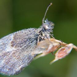dauw-vlinder