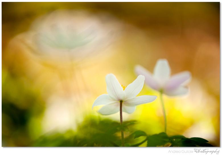 Spring Rhytmn - Heerlijk het is echt lente. De macro kriebels leven weer volop. Prachtig met al die mooie bloemen die ontluiken. Annemonen ze blijven