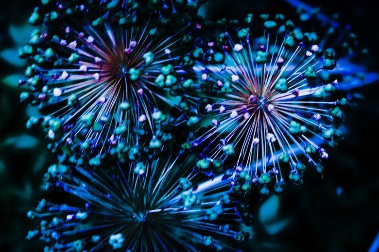 """Allium firework - Allium met """"filter"""""""