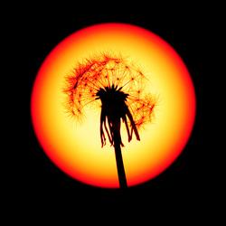 Paardenbloem voor de zon
