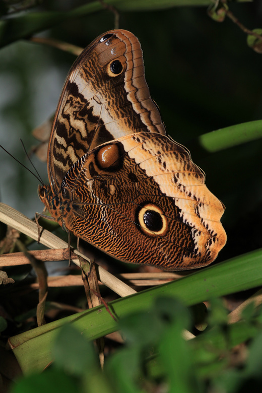 """Uilvlinder - Uilvlinder in """"vlinders aan de vliet"""" in Leidschendam"""