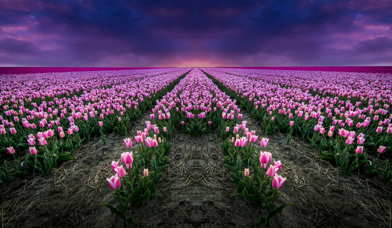 Tulips In Darkness