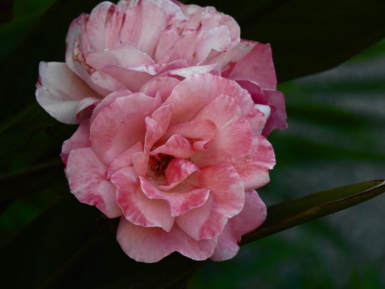 Roosje mijn roosje 2 -