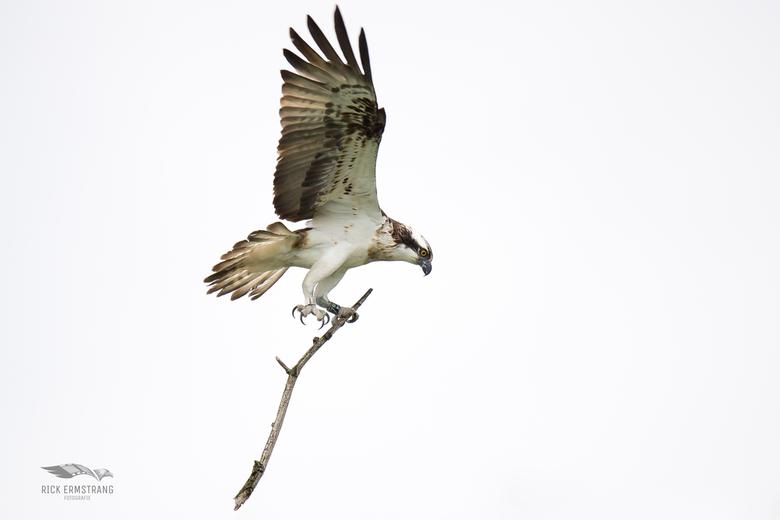 Visarend - De visarenden weer terug in de Biesbosch...mannetje is druk met nest materiaal te verzamelen.<br /> Helaas is het oude boomnest omgewaaid