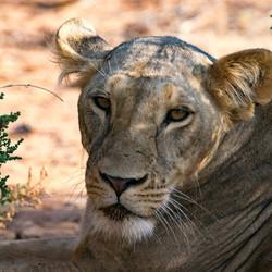 Leeuwin - Samburu National Reserve