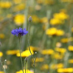 1 Korenbloem in volledig geel veld