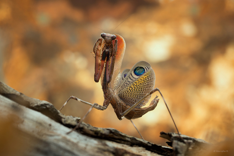 Peacock Mantis