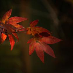Japanse esdoorn in het licht van de herfst