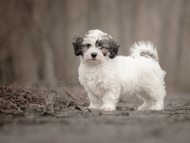 Adorable Appa - Super schattige boomer puppy genaamd Appa