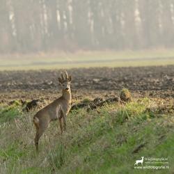 Reebok in de bast, Biesbosch