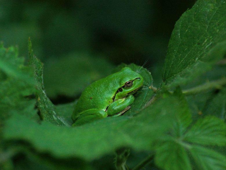 Groen boomkikkertje in het groen - boomkikkertjes zijn al klein en slapen overdag graag op bladeren van bramen en vallen dan haast niet op