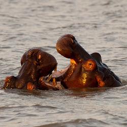 Spelende nijlpaardjes (Zuid Afrika)
