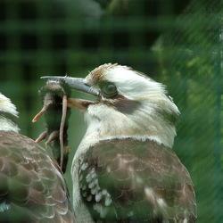 kookaburra met muis