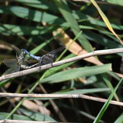 Parende libellen onder toezicht.