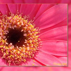 Roze pracht