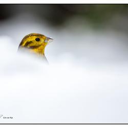 Geelgors in de sneeuw
