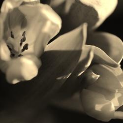 Tulip Expirience