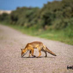 jonge vos bij amsterdam waterleidingduinen