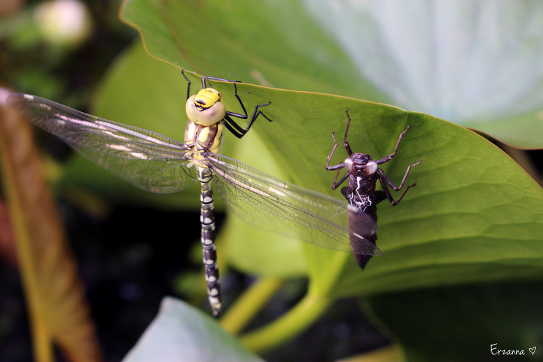 Libelle met larve - In onze vijver aan het blad van een waterlelie zat deze libelle op te drogen, nadat hij net uit de larve was gekropen.