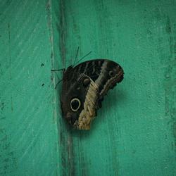 Vlinder!