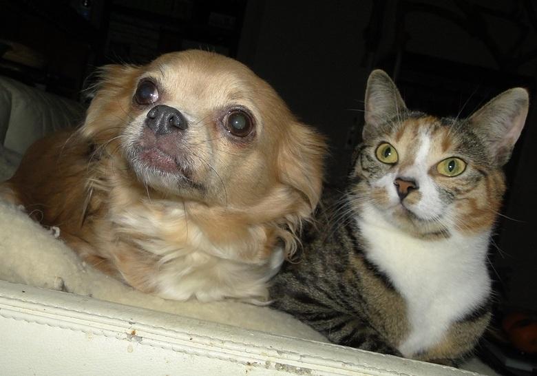 Mijn Chihuahua Vicky &amp; mijn poesje Lulu samen op bank. - Mijn Chihuahua Vicky &amp; mijn poesje Lulu samen op de wollen deken op de bank.<br /> (
