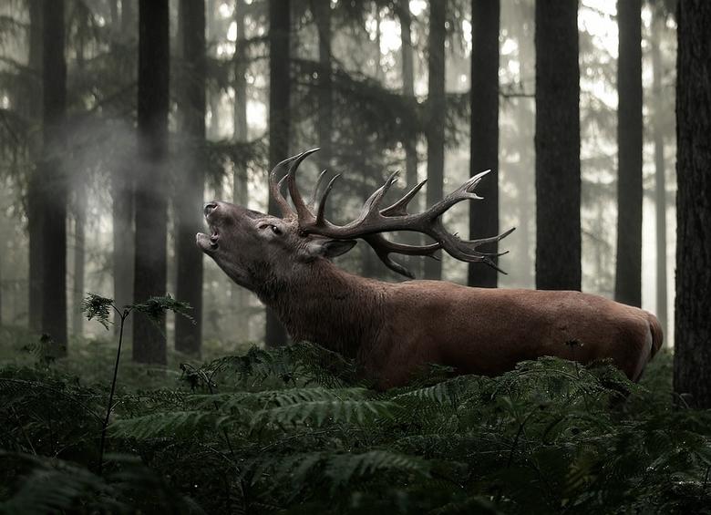 Belling for the girls! - Gemaakt van twee foto's. Edelhert komt van de Hoge Veluwe en het bos is uit Ugchelen.